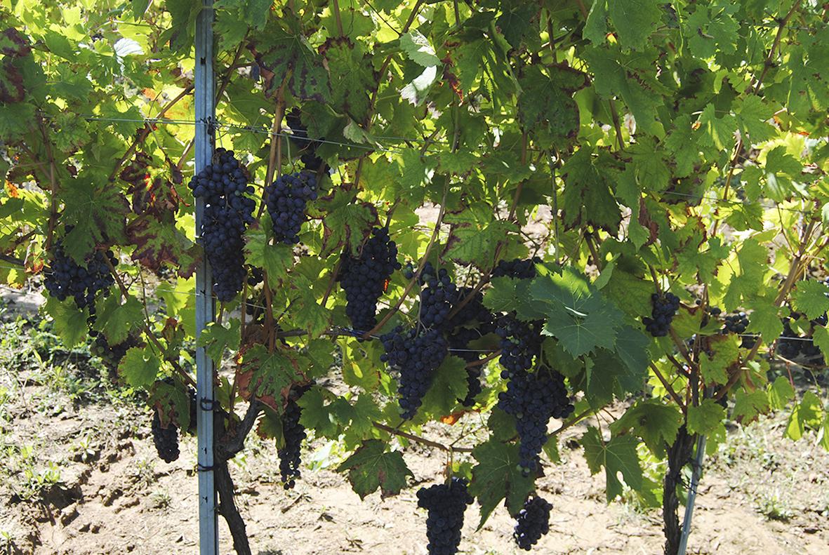 Le nostre uve